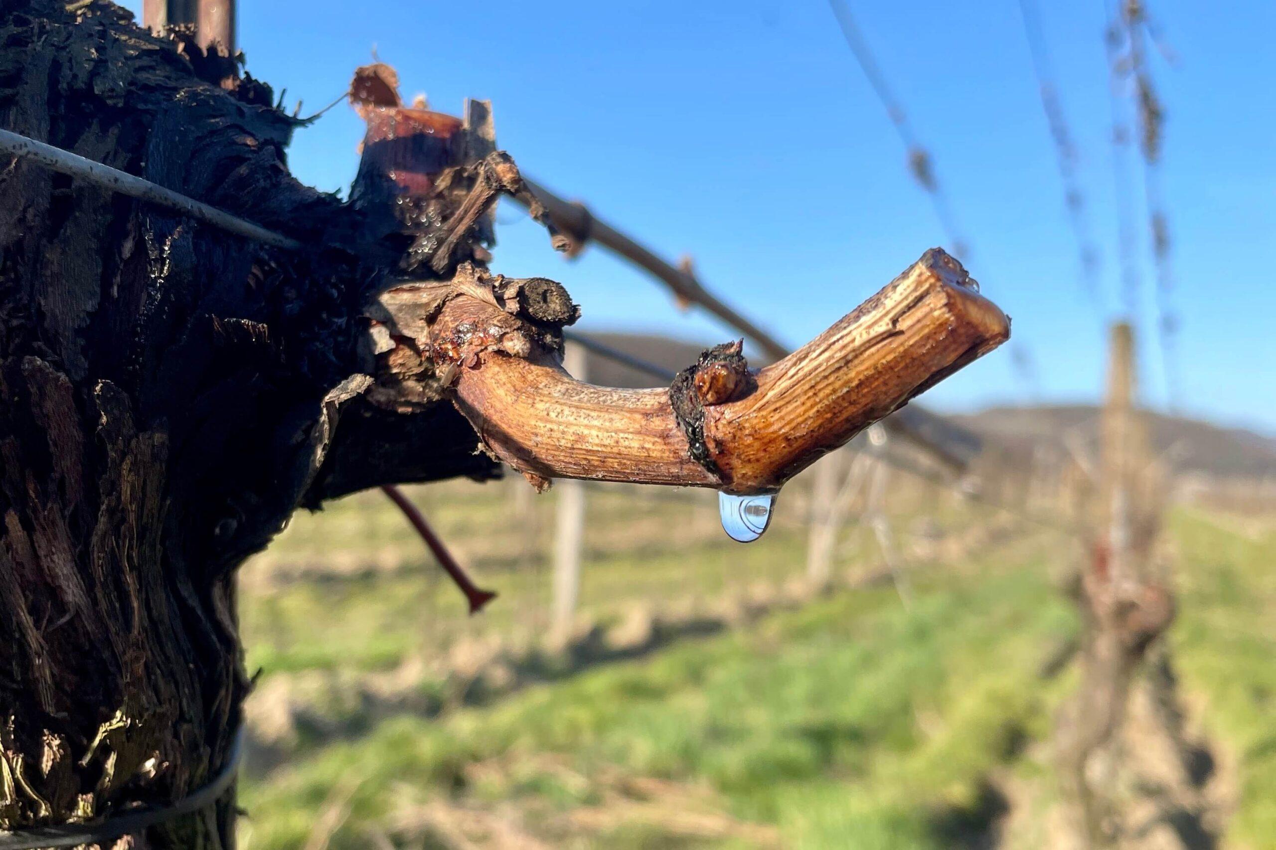 dieNikolai Tränen des Weinstocks